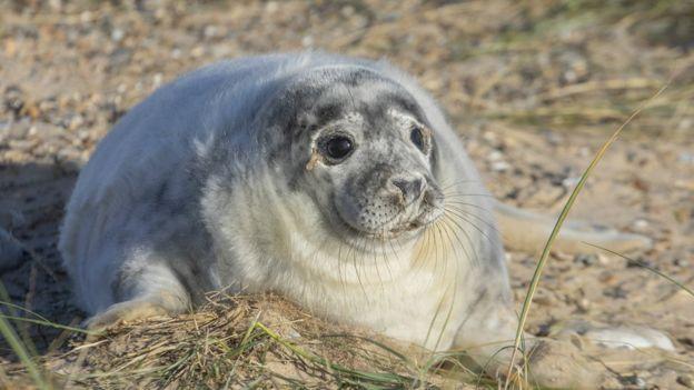 Grey seal pup, fat